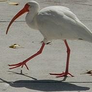 Egret legs