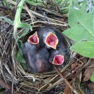 hungry chicks